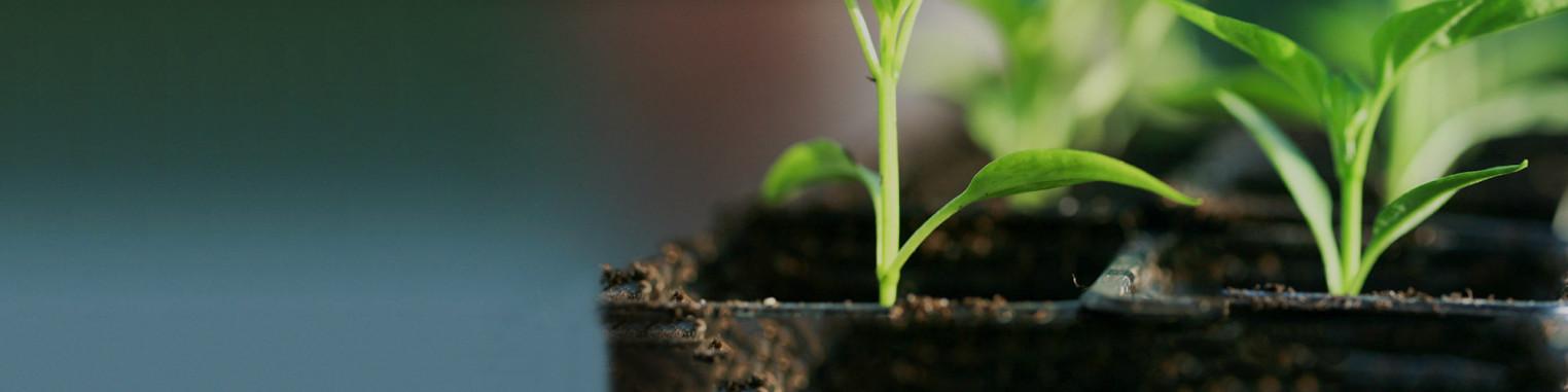 Achat PLANTS DE PIMENT - 6 variétés disponibles dont le piment le PLUS FORT DU MONDE
